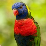 Credit: Peter Tan Flickr Rainbow Lorikeet