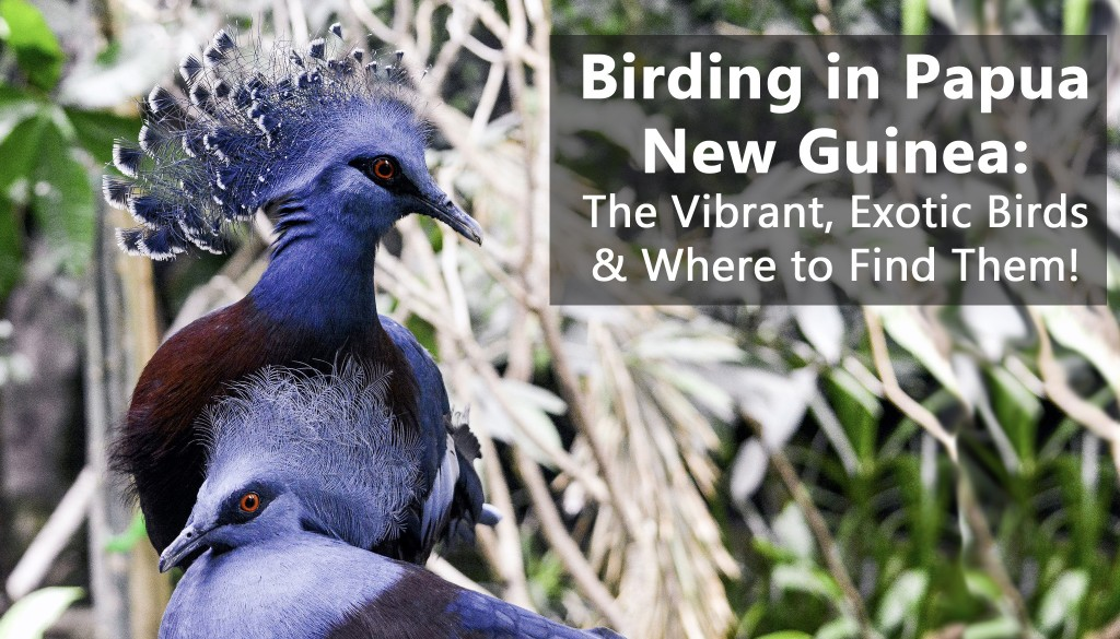 Birding in Papua New Guinea